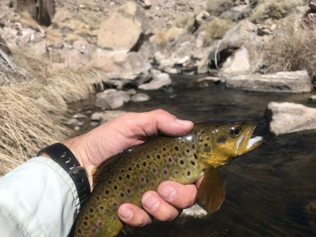 The gorge section of the Owens River is home to a healthy population of wild brown trout up to 14 inches.