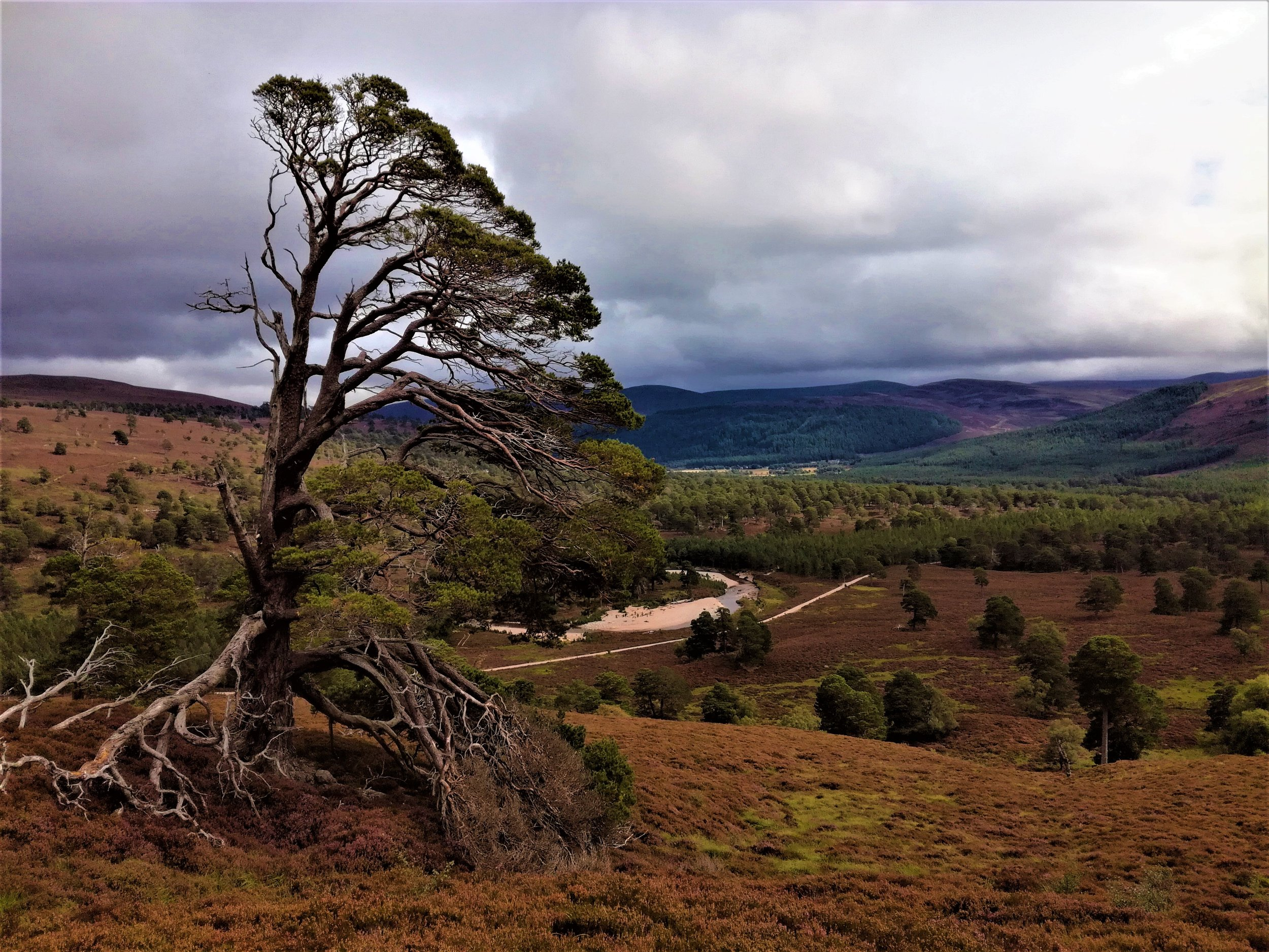 Caledonian Pine woods, Braemar -  Tour & Walk in small groups - Roaming Scotland..jpg