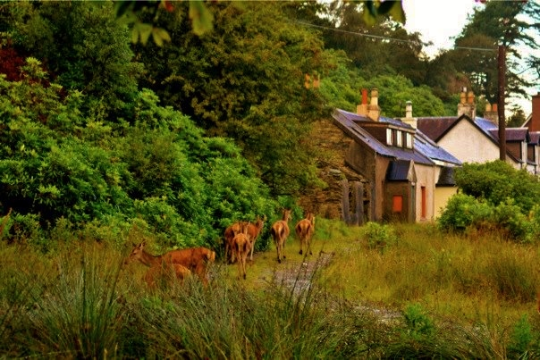 Deer at Lochranza