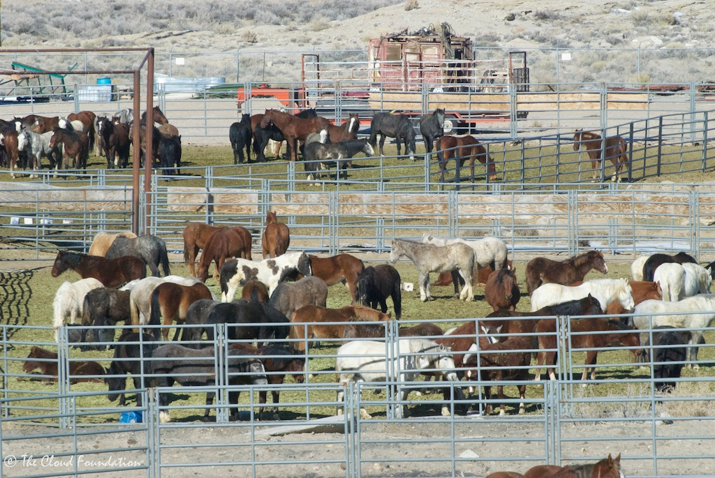Salt Wells mares and foals in crowded corrals.