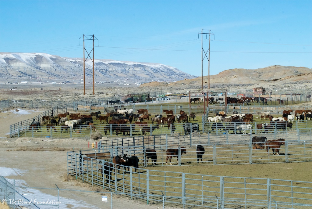 Exposed Rock Springs corrals. Salt Wells mares and foals in crowded middle pen.