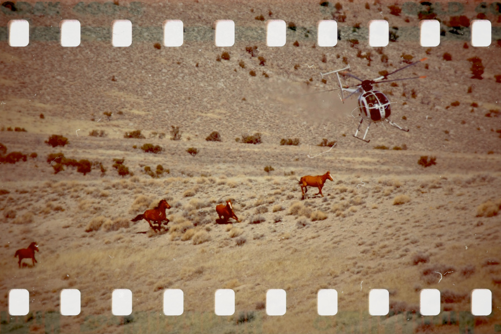 BLM Antelope attack in 2011. Photo by Terry Fitch of Wild Horse Freedom Federation