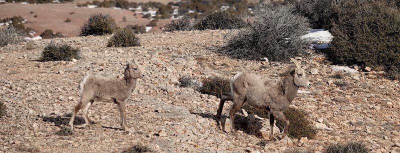 Near the Devil's Canyon Overlook, famous for it precipitous cliffs, we spot a bighorn ewe and her lamb. Unfortunately, they're not interested in sticking around.