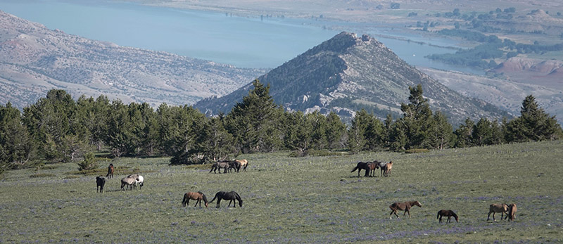 Four family bands atop the Pryor Mountains, June 2018