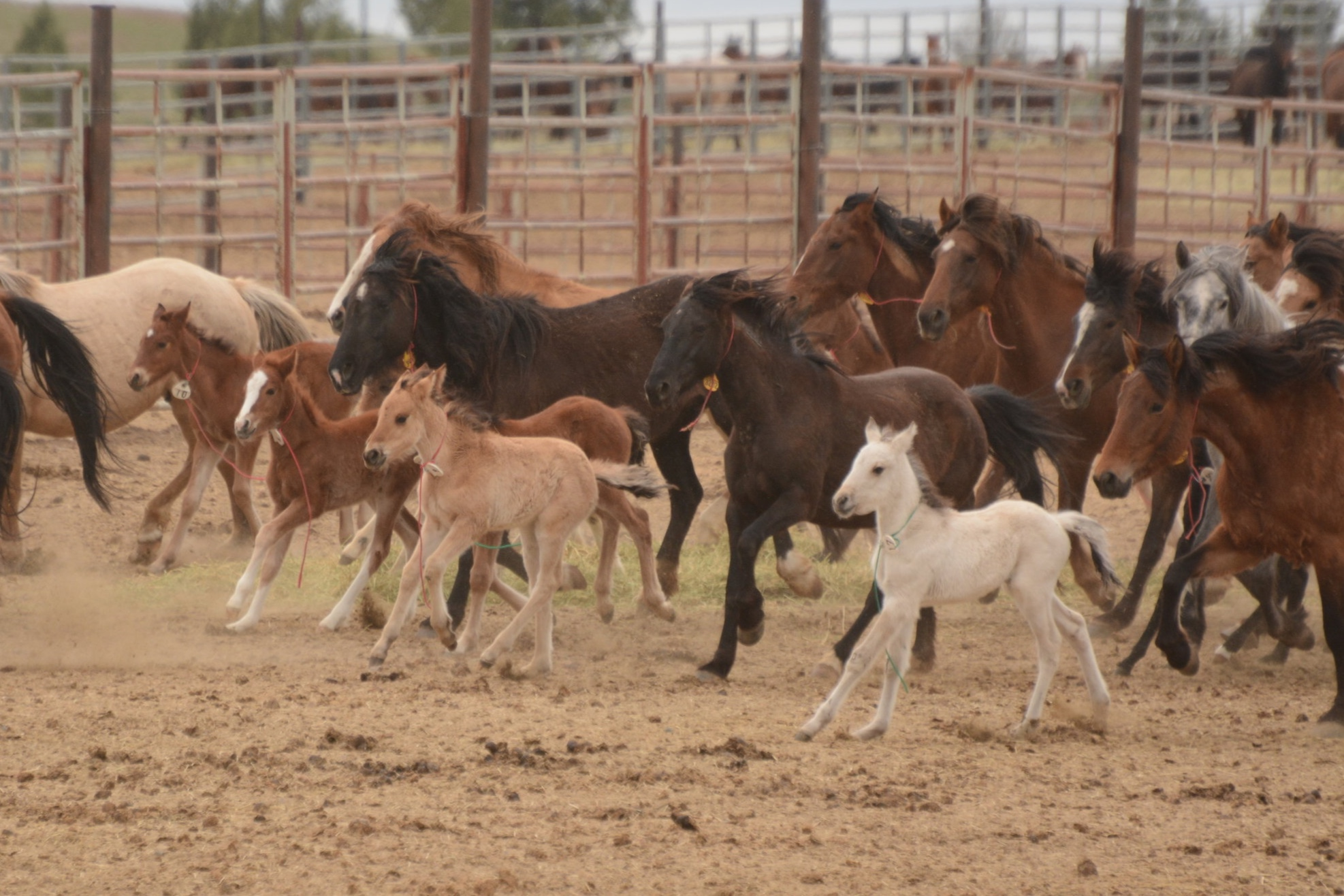 Warm Springs mares and foals in the corrals, Burns, OR
