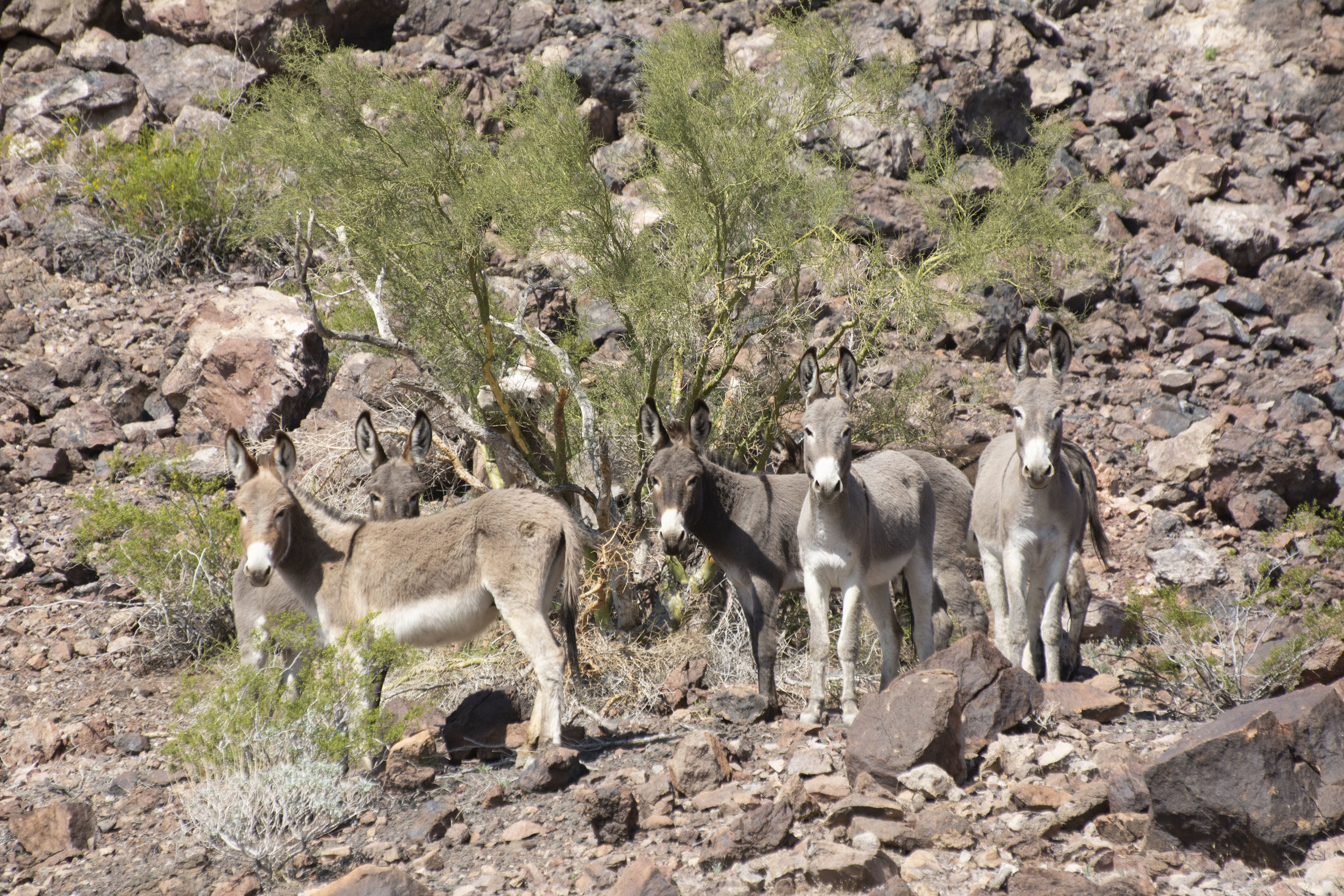 Burros of the Arizona/California desert. Photo: Ginger Kathrens