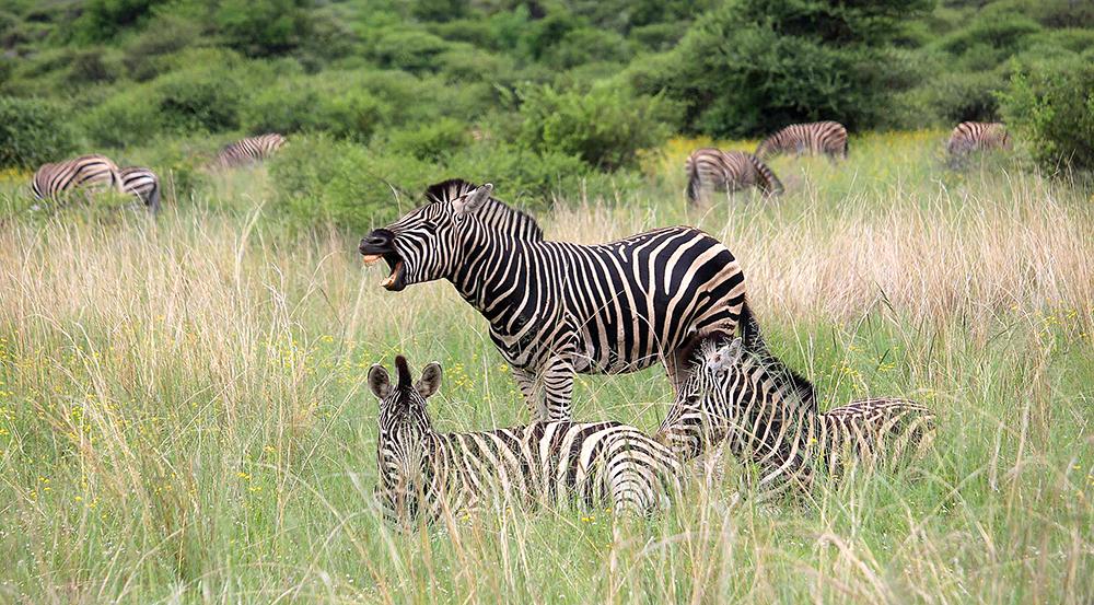 Zebra-at-Pilanesberg_REV.jpg