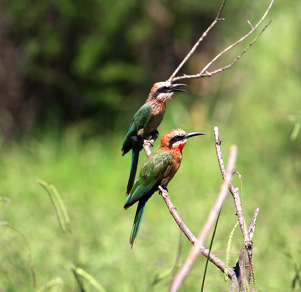 White-fronted-bee-eaters-at-Rietvlei_REV.jpg