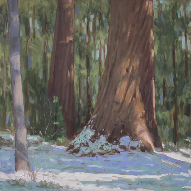 sequoias in dappled light