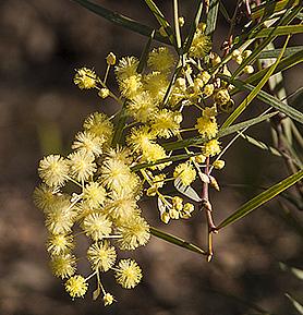 Acacia-iteaphylla-CU-WEB.jpg