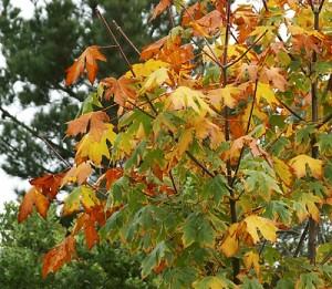 Acer-macrophyllum.jpg