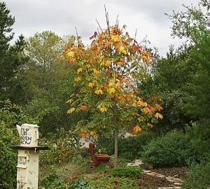 Acer-macrophyllum-2.jpg