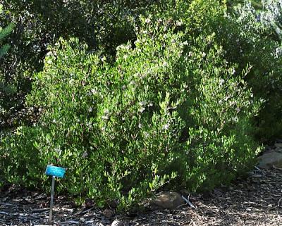 Arctostaphylos-densiflora -'Howard McMinn'2.jpg
