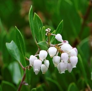 Arctostaphylos-densiflora-'Howard McMinn'.jpg