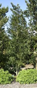 Azara-microphylla.jpg