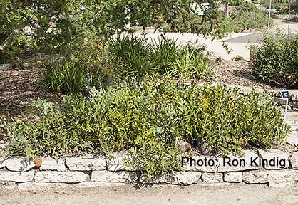 Banksia-repens.jpg
