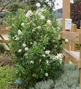 Carpenteria-californica.jpg