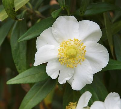 Carpenteria-californica2.jpg