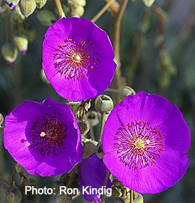 Cistanthe-grandiflora-(Calandrinia spectabilis)2.jpg