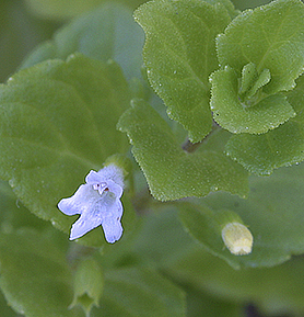 Clinopodium-douglasii(Satureja-douglasii)2.jpg