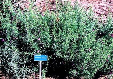 Cneorum-tricoccon.jpg