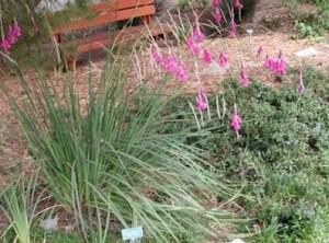Dierama-pulcherrimum.jpg