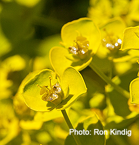 Euphorbia-seguieriana2.jpg