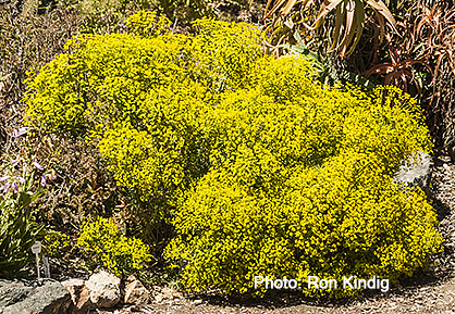 Euphorbia-seguieriana.jpg
