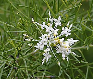 Grevillea-paniculata2.jpg