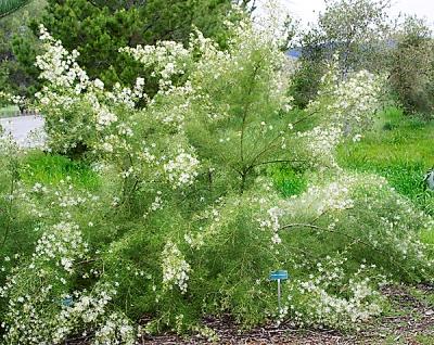 Grevillea-paniculata.jpg