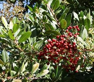 Heteromeles-arbutifolia.jpg
