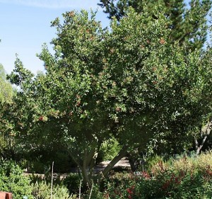 Heteromeles-arbutifolia2.jpg