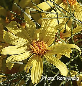 Leptosyne-gigantea (syn. Coreopsis gigantea)2.jpg