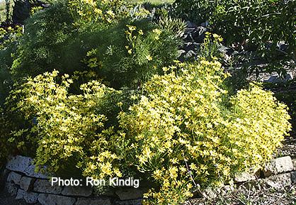 Leptosyne-gigantea (syn. Coreopsis gigantea).jpg