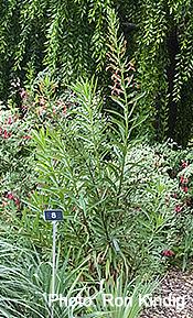 Lilium-pardalinum2.jpg