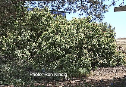 Malosma-laurina (Rhus laurina)2.jpg