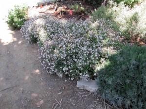 Pelargonium-'Nutmeg'2.jpg