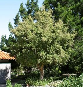 Quercus-suber.jpg