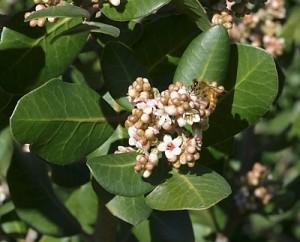 Rhus-integrifolia.jpg