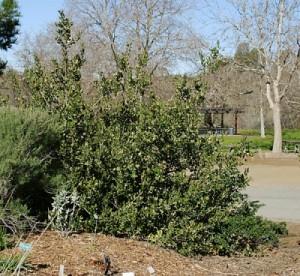 Rhus-integrifolia2.jpg
