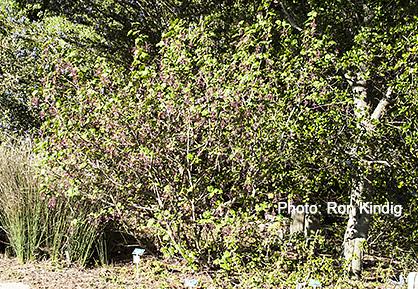 Ribes-sanguineum-Mesa-Rose2.jpg