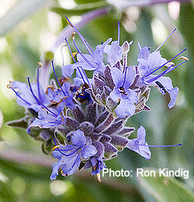 Salvia- 'Bee's Bliss'.jpg