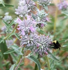 Salvia-leucophylla (2).jpg