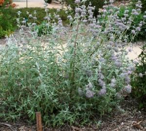 Salvia-leucophylla.jpg