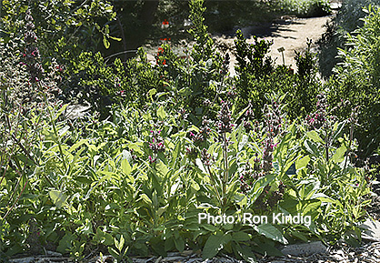 Salvia-spathacea2.jpg