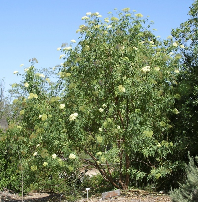 Sambuca-nigra-subsp. caerulea (syn. Sambucas mexicana)2.jpg