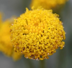 Santolina-chamaecyparissus.jpg