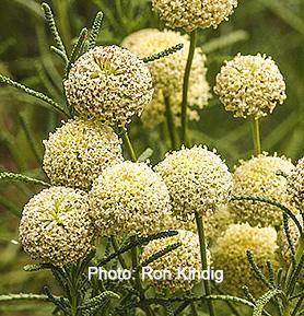 Santolina-rosmarinifolia (syn. Santolina virens).jpg