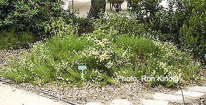 Santolina-rosmarinifolia (syn. Santolina virens)2.jpg