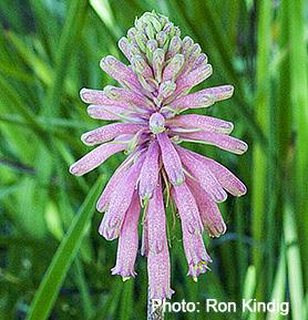 Veltheimia-bracteata.jpg